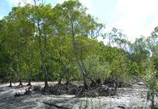 pokokbakau